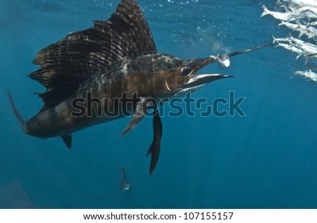 Sailfish on Bait Ball - stock photo