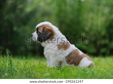 Saint Bernar puppy sitting in the grass - stock photo