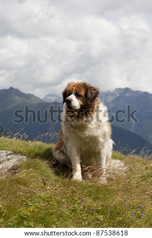 Saint Bernard dog in the mountains of Austria - stock photo