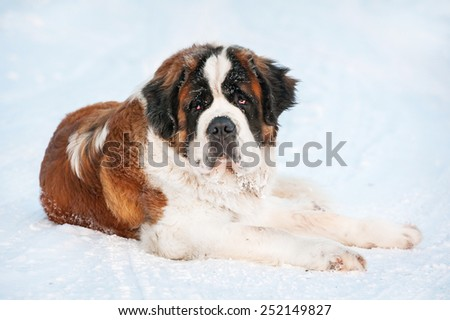 Saint bernard dog in winter - stock photo