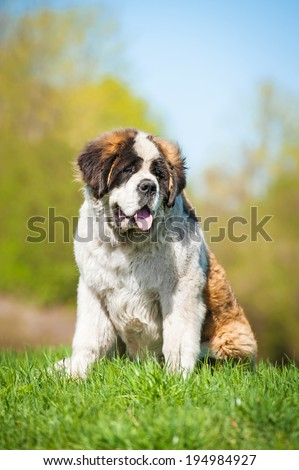 Saint bernard dog sitting on the lawn - stock photo