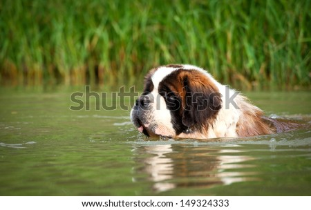 Saint bernard dog swimming in summer - stock photo