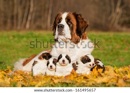 Saint bernard dog with puppies in autumn - stock photo