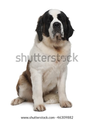 Saint Bernard, 15 months old, sitting in front of white background - stock photo