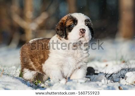 Saint bernard puppy in winter - stock photo