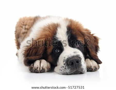Saint Bernard Puppy Lying Down With Sweet Expression - stock photo
