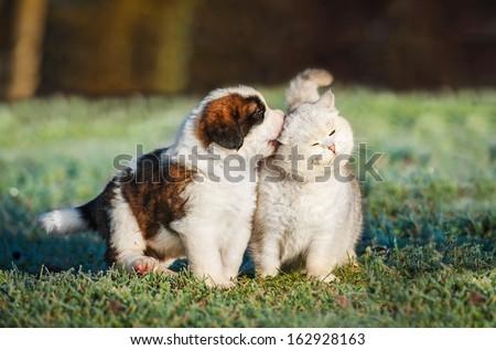 Saint bernard puppy playing with british shorthair cat - stock photo