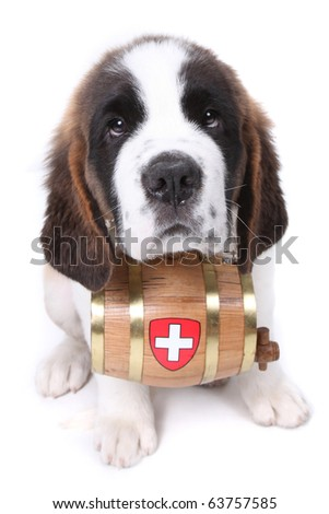 Saint Bernard puppy with a rescue barrel around the neck - stock photo