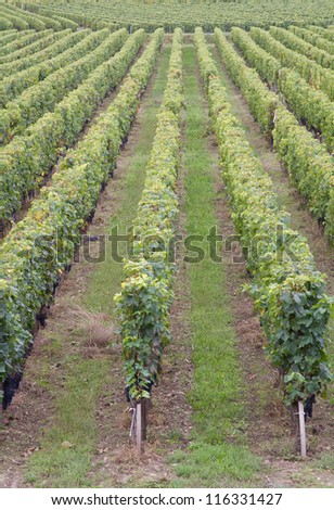Saint Emilion vineyard near Bordeaux, France - stock photo