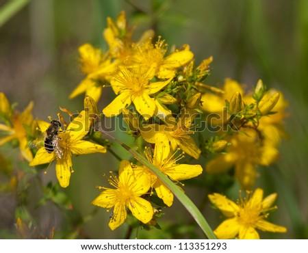 Saint-John's-wort with bee - stock photo