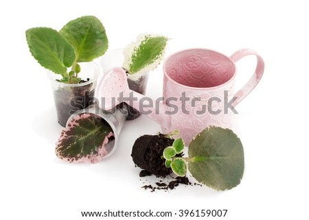 Saintpaulia (african violet). Vegetative reproduction via single leaf, isolated on a white background. - stock photo