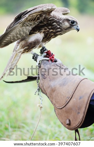 Saker Falcon sits on a glove, close-up - stock photo