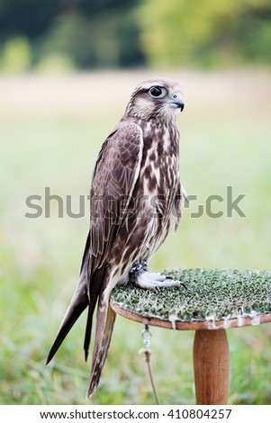 Saker Falcon sits on a stand, close-up - stock photo