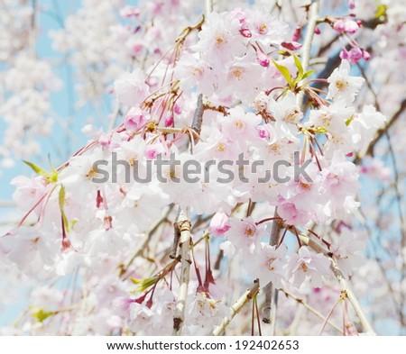 sakura blossom - stock photo