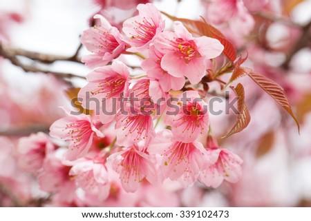 Sakura Cherry Blossom. - stock photo