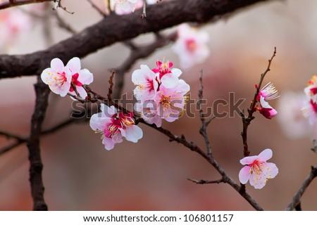 Sakura Cherry Blossom at Kenrokuen Garden in Kanazawa - stock photo