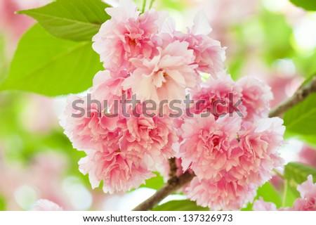 sakura, cherry blossom in spring - stock photo