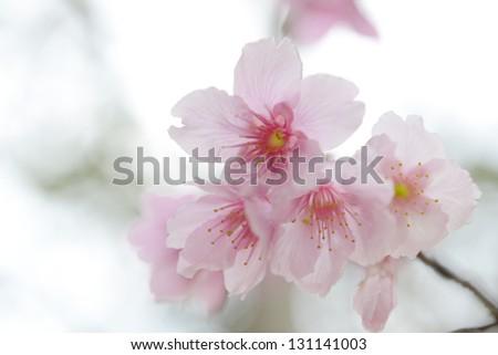 Sakura flower - stock photo
