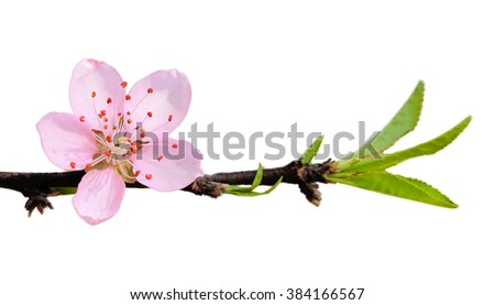 Sakura flower on white background.Shallow DOF with wide aperture - stock photo
