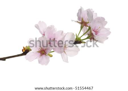 sakura flowers - stock photo