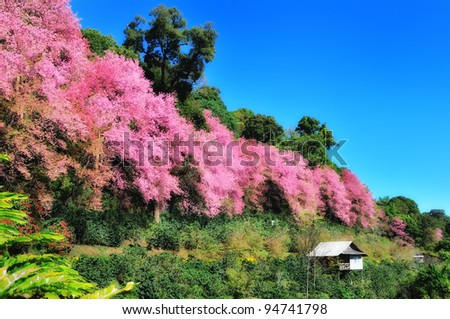 Sakura flowers and hut - stock photo
