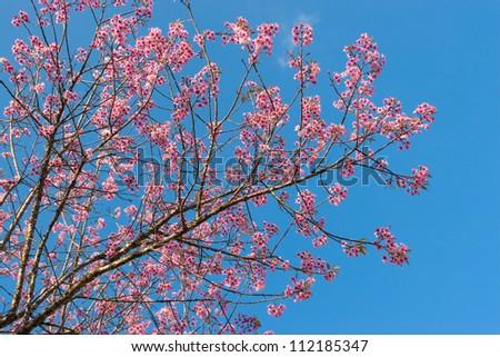 Sakura flowers blooming blossom in Nan, Thailand - stock photo