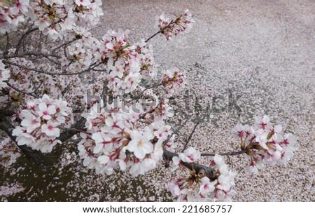 Sakura in Osaka - stock photo