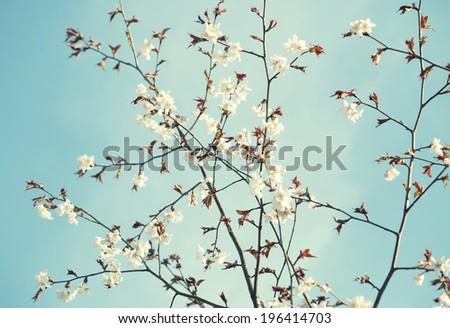 Sakura in the spring garden. Pink flowers. - stock photo