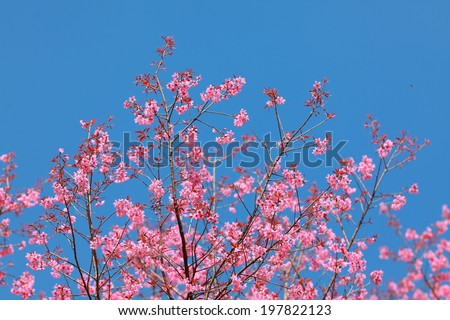 Sakura in the spring garden. Pink flowers.beautiful cherry blossom in daylight with clear blue sky,chiangmai north of thailand  - stock photo
