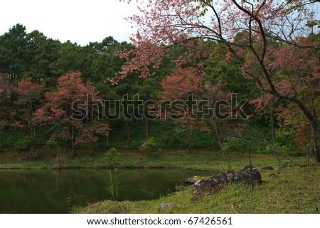 Sakura int Thailand - stock photo