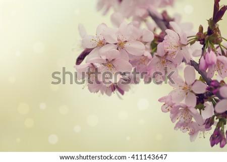 Sakura or cherry blossom flower full bloom in spring season. - stock photo