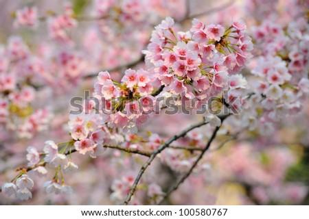 Sakura or Cherry Blossom, Japan - stock photo