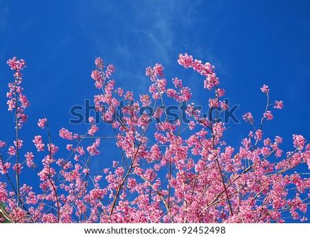 sakura sky - stock photo