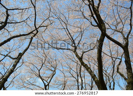 sakura tree in garden - stock photo