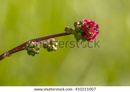 Salad burnet (Sanguisorba minor) detail of flowers. It is a plant in the family Rosaceae that is native to western, central and southern Europe; northwest Africa and southwest Western Asia - stock photo