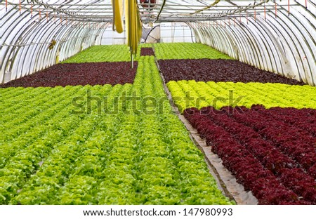 Salad growing in a greenhouse - stock photo