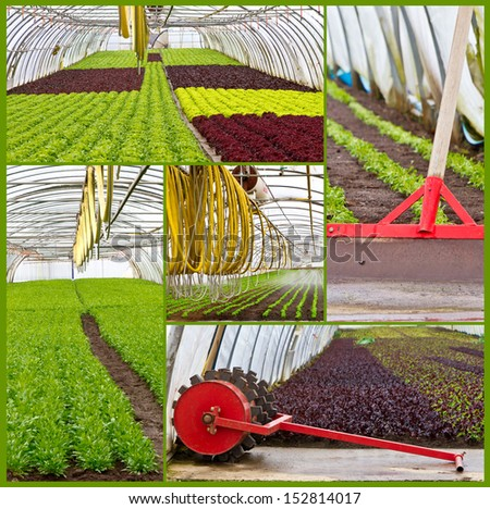 Salad growing in a greenhouse - photo collage - stock photo