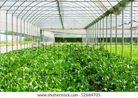 Salad vegetable and lettuce in glasshouse - stock photo