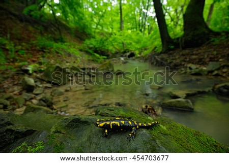 Salamander in nature forest habitat with river. Gorgeous Fire Salamander, Salamandra salamandra, spotted amphibian on the grey stone with green moss. Rare animal in the dark forest, wide angle lens.   - stock photo