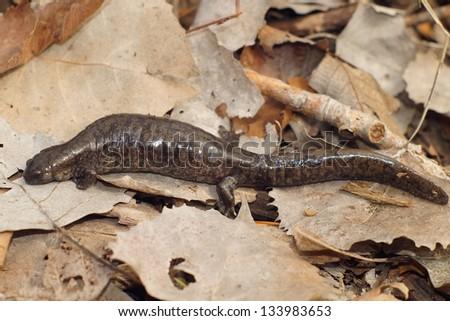 Salamanders - A gravid or pregnant Smallmouth Salamander, Ambystoma texanum - stock photo