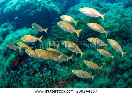 Salema porgy-Sarpa salpa - stock photo