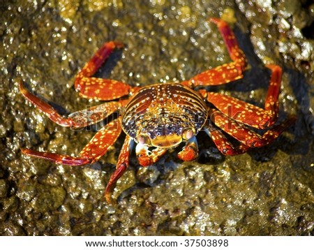 Sally Lightfoot crab on the rocks in the Galapagos Islands - stock photo