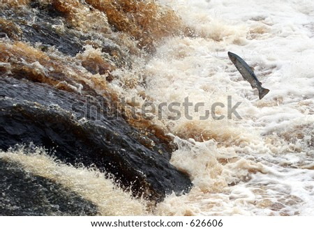 Salmon fights the Tide - stock photo