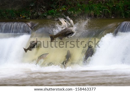 Salmon run in October - stock photo