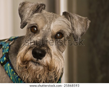 Salt and pepper minature schnauzer dog posing for the camera outdoors. - stock photo
