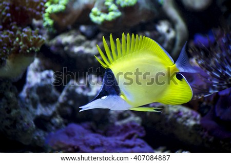 Blue Fish Striped Yellow Stock Photos Images Pictures