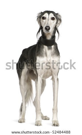Saluki dog, 12 years old, standing in front of white background - stock photo