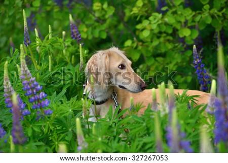 Saluki or Kazakh greyhound Tazi standing on a summer flowers background - stock photo