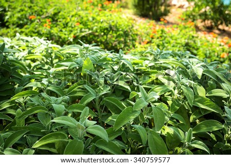 salvia in the home garden, herbs for the kitchen - stock photo