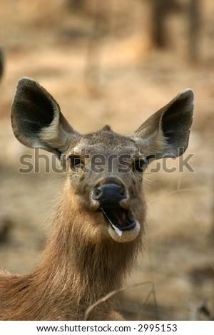 Sambar deer (Cervus unicolor) making funny face, Ranthambore National Park, Rajasthan, India - stock photo